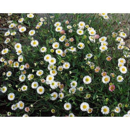 マット植物:エリゲロンのマット25cm×25cm 6枚セット[グランドカバーに草花の苗] ノーブランド品 B01M25QPY3