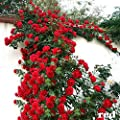 100PCS Climbing Rose Seeds Rosa Multiflora Perennial Fragrant Flower New Red
