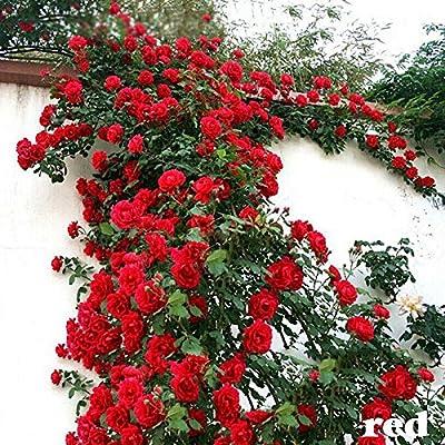 100PCS Climbing Rose Seeds Rosa Multiflora Perennial Fragrant Flower New Red