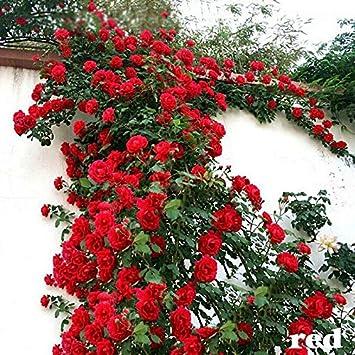 Fastdirect 100 Graines de Rosier Semences Rosiers de Po/ète Polyanthas Parfum/é Bricolage Jardinage Bonsa/ï Plantes Vivaces Multi-couleur Disponibles Noir+rouge