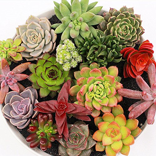 300seeds/pack Mix Succulent Seeds, Lotus Lithops Pseudotruncatella Bonsai Plants Seeds, for Home and Garden Flower Pots Planters