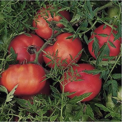 Organic Tomato 'Silvery Fir Tree' (Lycopersicon Esculentum) Vegetable Russian Heirloom,Determinate, OP Seeds