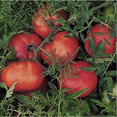 Organic Tomato 'Silvery Fir Tree' (Lycopersicon Esculentum) Vegetable Russian Heirloom,Determinate, OP Seeds