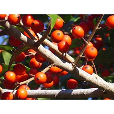 20 Point Pleasant Holly Seeds #RDR02 : Garden & Outdoor