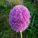 20pcs Allium Giganteum Seeds Purple Plant DIY Home