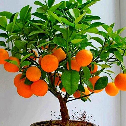 50 pcs Bonsai Orange Seeds Mini Bonsai Tree Balcony Patio Potted Fruit Trees Kumquat Seeds Tangerine Citrus