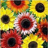 Sonnenblume - Autumn Beauty - Samenmischung - 20 Samen