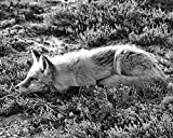Red Fox Photograph in Black & White - Fine Art Animal Photography -''At Rest B&W'' - Nature Inspired Wall Art