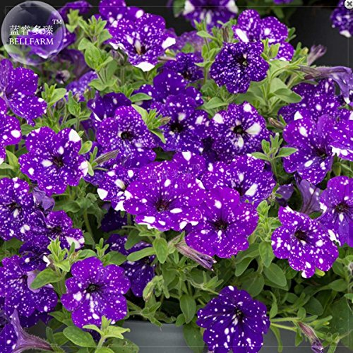 (Tacoli- Garden Bonsai Petunia 'Night Sky Blue' Flowers, 200pcs 'seeds' white speckles against the deep blue petals single petal)