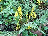 Ferny Corydalis Seeds - Yellow Bleeding Heart ,10 Seeds Shade loving plant !