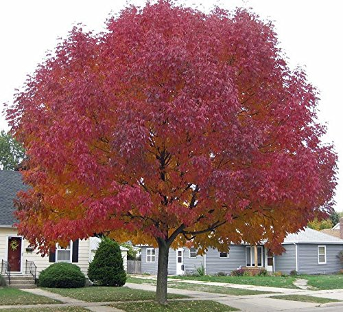 (50 seeds Tree