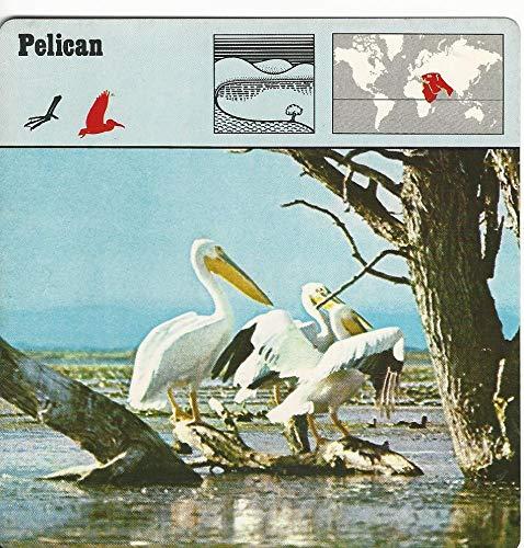 1975 Editions Rencontre, Animals Card, 25.607 Pelican