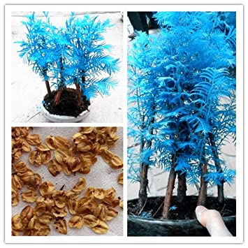 20 PC mini-bonsai semillas de Metasequoia azules. raras plantas azules naturales: Amazon.es: Jardín