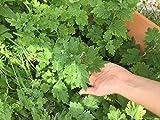 """Tanacetum parthenium, feverfew live plant 4"""" pot"""
