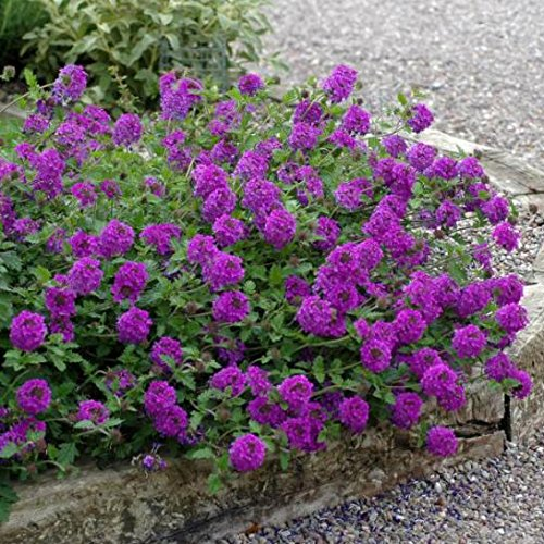 Verbena 'Homestead Purple' - Size: 1 Gallon (Verbena 'Homestead Purple')