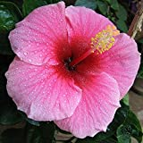 Hibiscus syriacus (diameter 20-27 cm) MIX 7th Wonder of the World Flower Seeds