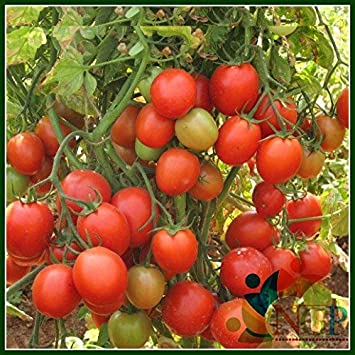 Natural Garden Plants Tomato Arka Rakshak Hybrid F1 Vegetable Seeds 100 Seeds Packet