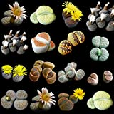 Lithops mixed seeds