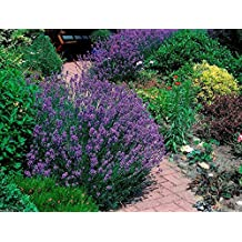 Lavender 100 Seeds - English Organic, NON Gmo, High Quality, Untreated Seed -Perennial