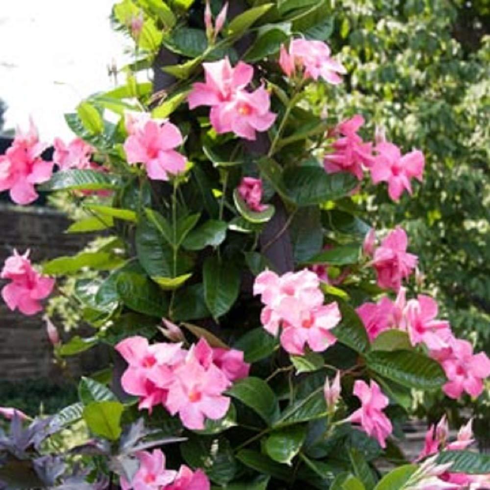Pink Mandevilla Vine Alice Dupont - 2 Live Starter Plant Garden