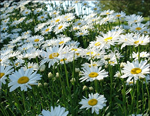 Marguerite Daisy - New Home Garden Plant 100 Seeds OX EYE DAISY Marguerite Chrysanthemum Leucanthemum Flower Seeds