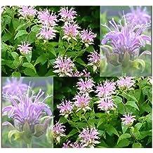 800 x WILD BERGAMOT HERB Seed - Monarda fistulosa Flower Seeds ~ Perennial FRAGRANT LAVENDER FLOWERS - Perennial In Zone 4-10 - By MySeeds.Co
