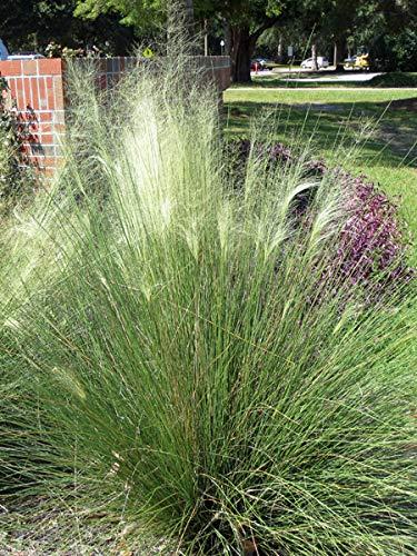 Native Grass Plants - Perennial Farm Marketplace Muhlenbergia c. 'White Cloud' Muhly Ornamental Grass, 1 Gallon, Blue-Green