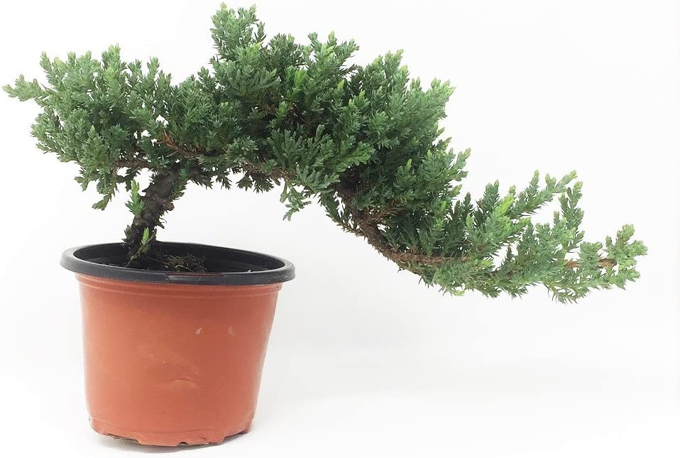 Amazon Com Healthy Bonsai Tree Windswept Juniper Easy To Care For Responds Well To Wiring And Reshaping Strictly An Outdoor Bonsai Tree Can Be Added To A Diy Kit
