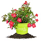 RED KNOCK OUT® ROSE - Size: 3 Gallon, live plant, includes special blend fertilizer & planting guide