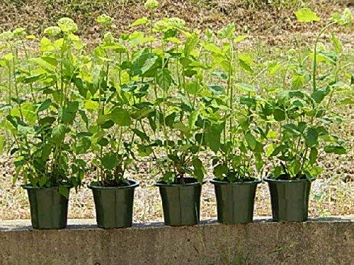 アジサイアナベル アナベル苗 5本セットのアナベルで 自宅がアナベルのお庭に B00KOZ3JUO