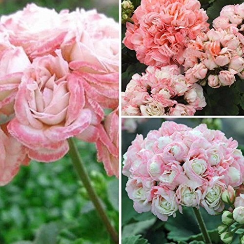 (10pcs Geranium Seeds Apple Blossom Rosebud Pelargonium Potted Balcony Plant)