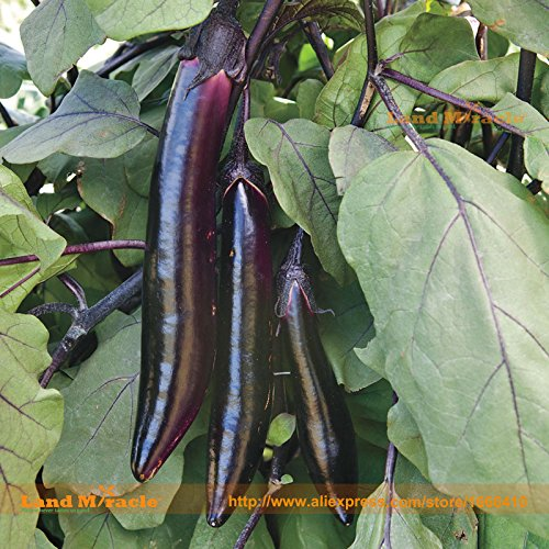 Japanese Purple Long Eggplant Seed, 100 Seeds/Pack, Organic Vegetable Seed-Gourmet Flavor! Succulent and Tender!-Land Miracle
