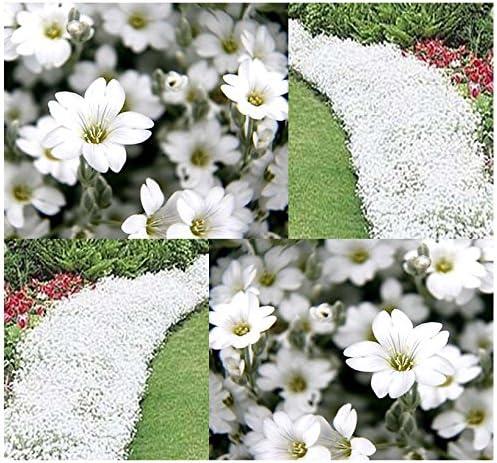 THYMUS SERPHYLLUM CREEPING THYME FLOWER SEEDS PERENNIAL GROUND COVER FLOWER