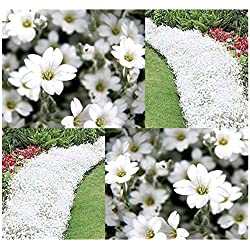 4 Packs x 500 Snow in Summer FLOWER SEED - Cerastium tomentosum - Perfect For Borders & Rock Gardens - Zones 3-10 - By MySeeds.Co