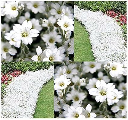 Amazon 500 x snow in summer flower seed cerastium tomentosum 500 x snow in summer flower seed cerastium tomentosum perfect for borders rock mightylinksfo