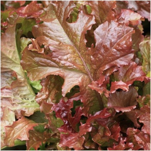 Package of 400 Seeds, Ruby Red Lettuce (Lactuca sativa) Non-GMO Seeds By Seed Needs