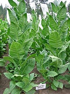 Tobacco Aromatic Oriental Seeds for Planting Nicotiana tabacum Heirloom Ukraine 500 Seeds