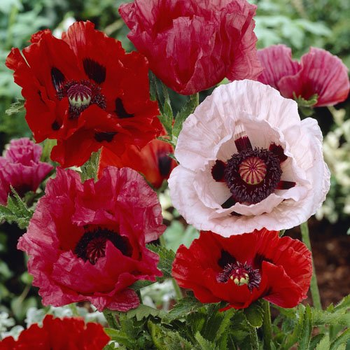 Outsidepride Poppy Oriental Mix - 50,000 Seeds