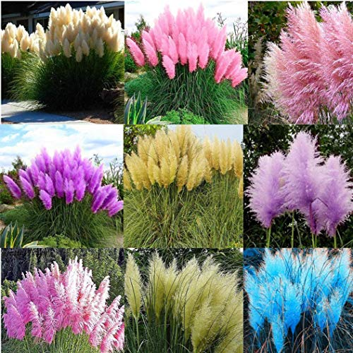Cicitar Garden - Rare 500/1000pcs American Pampas Grass Seeds Evergreen Ornamental Grass sea of   Flowers, Hardy Perennial Flower Seeds for Balcony, Border, Terrace up to 3 m high