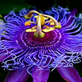 The exotic flower seeds passion fruit seed 50 \ package
