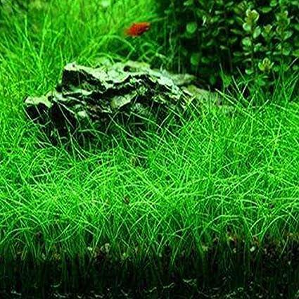 Rosepoem Semillas de la planta de agua Glossostigma Hemianthus callitrichoides acuática hierba del agua del acuario