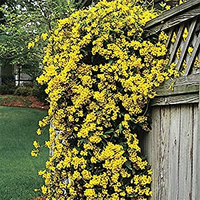 Carolina Jasmine - 60 Live Plants - Gelsemium Sempervirens Jessamine - Beautiful Fragrant Blooming Vine : Garden & Outdoor