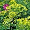 Bouquet Dill Herb Garden Seeds - Non-GMO, Heirloom Herbal Gardening & Microgreens Seeds - Anethum graveolens