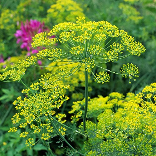 Bouquet Dill Herb Garden Seeds - 25 Lb Bulk - Non-GMO, Heirloom Herbal Gardening & Microgreens Seeds - Anethum graveolens by Mountain Valley Seed Company