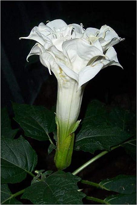 Amazon Com Datura Metel Triple White Devil S Trumpet Angel