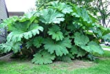 2 Live potted - Huge Gunnera Manicata Plants - Dinosaur Food Plants - 6-8 ft leaves