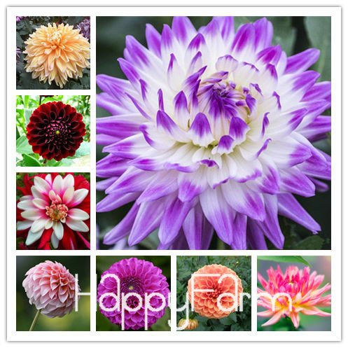 Seed Dahlia Carnation Plant Hardy Heat-Resisting Different Perennial Dahlia Flower Plants, 100 Pcs/Pack, Light Fragrant Garden Bonsai,#NSD9SG (Mix Color)