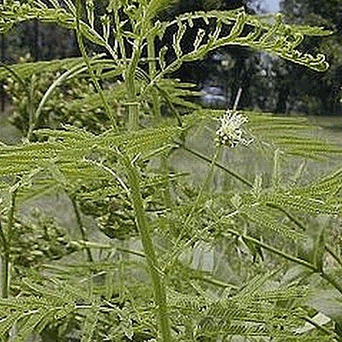 (800 Illinois Bundleflower Wildflower Seeds - Everwilde Farms Mylar Seed Packet)