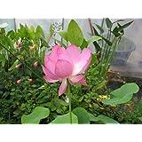 3 graines de Lotus (Nelumbo nucifera) Fleur de Lotus rose
