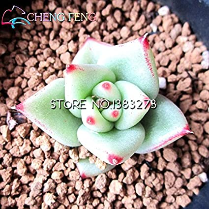 50pcs//bag Succulent Seed Plants Potted Plants Stone Flowers Seeds Potted